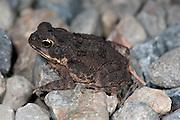 Juvenile Cane Toad, Bufo marinus, Panama, Central America, Gamboa Reserve, Parque Nacional Soberania, on stones at edge of road