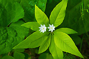 Starflower (Trientalis borealis) bossom growing on Kendall Inlet Road<br />