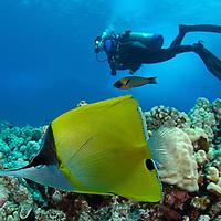 Common Longnose Butterflyfish, Forcipiger flavissimus, Maui Hawaii