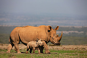 A white rhinoceros calf (Ceratotherium simum) standing with its mother, Solio, Kenya