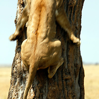 Africa, Kenya, Maasai Mara. A female lion jumps up a trunk into a tree.