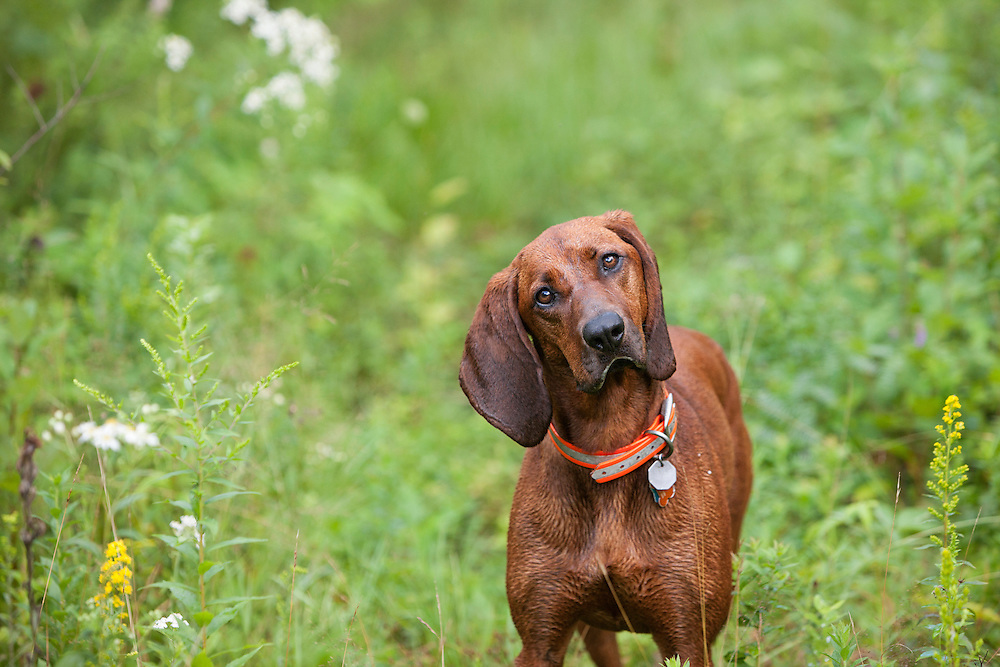 Portrait of a Coonhound