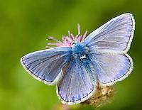 Common Blue - Polyommatus icarus - Shropshire, July