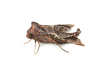 mournful sphinx (Enyo lugubris)