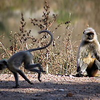 Asia, India, Ranthambore. Gray Langur monkeys of Ranthambore.