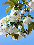 Stock Photos of close up of cherry blossom on a cherry tree. Funky stock photos library