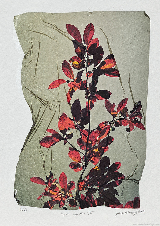 """Description:<br /> Nyssa sylvatica, the Sour Gum, or Black Tupelo, fall foliage, inspired by Victorian botanical illustrations<br /> <br /> Medium: Acrylic Lift Transfer on water color paper<br /> <br /> Size: image size is approximately 4.5"""" x 6"""""""" on 8"""" x 9"""" watercolor paper<br /> <br /> Edition size:5<br /> <br /> Note: This is the mature version of what I had begun developing way back in 2004. Each image in the edition has differences in the bends, folds, stretches  and even rips in the thin image containing film. Each print has it's own unique characteristics."""