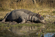 Hippopotamus (Hippopotamus amphibius)<br /> Fish eagle damMarakele Private Reserve, Waterberg Biosphere Reserve<br /> Limpopo Province<br /> SOUTH AFRICA<br /> RANGE: Formerly all over Africa. Now absent from far north and south of range.