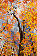 Sugar maple forest in autumn<br /> Fairbank Provincial Park<br /> Ontario<br /> Canada