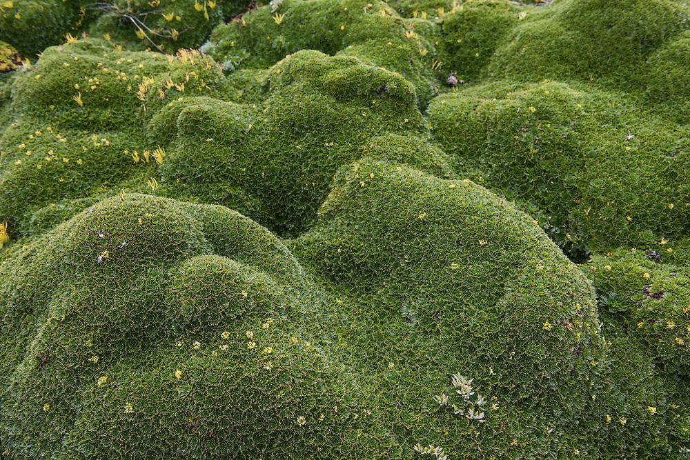 Cushion plant (Azorella sp)<br /> Antisana Ecological Reserve<br /> Cordillera Real, Andes<br /> ECUADOR, South America