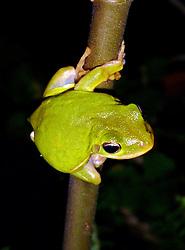 09 October 2014.  New Orleans, Louisiana. <br /> A green tree frog.  <br /> Photo; Charlie Varley/varleypix.com