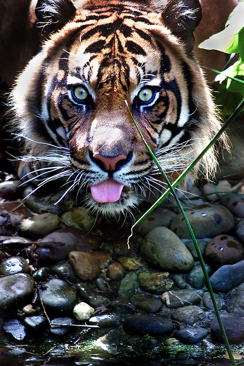 Photosales website..csz020107.001.001.jpg Picture by Craig Sillitoe.   Digicam000  Ramalon the Sumatran tiger drinking at the Melbourne Zoo melbourne photographers, commercial photographers, industrial photographers, corporate photographer, architectural photographers, This photograph can be used for non commercial uses with attribution. Credit: Craig Sillitoe Photography / http://www.csillitoe.com<br /> <br /> It is protected under the Creative Commons Attribution-NonCommercial-ShareAlike 4.0 International License. To view a copy of this license, visit http://creativecommons.org/licenses/by-nc-sa/4.0/.