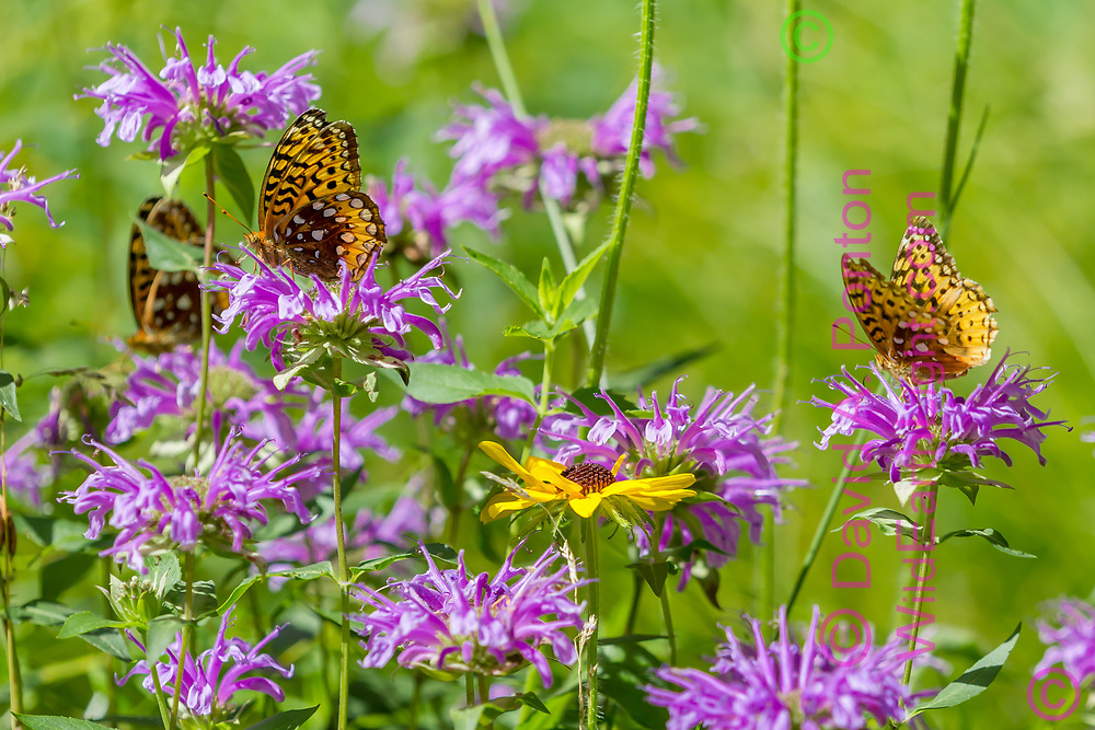 Butterflies and wildflowers: fritillary butterflies feeding on horsemint blossoms, with a black-eyed Susan blossom, mountain meadow, Jemez Mountains, NM. © David A. Ponton