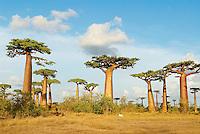 Madagascar. Morondava. Allee des Baobas. // Madagascar. Morondava. Baobab trees.