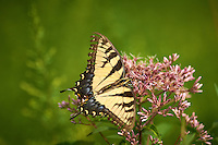Tiger Swallowtail Butterfly on a Joe Pye Weed Bloom at the Sourland Mountain Preserve. Image taken with a Nikon D800 and 300 mm f/2.8 VR lens (ISO 100, 300 mm, f/5.6, 1/2500 sec).