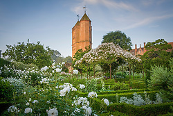 View towards the Tower from the White Garden at Sissinghurst Castle. Rosa mulliganii in full flower growing over the pergola with Rosa 'Iceberg' in the foreground