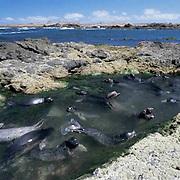 Northern Elephant Seal, (Mirounga angustirostris)  Weaners playing in tidal pool. San Benito Island. Mexico.