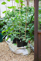 Tomatoes grown in pots sunk into grow bags in a greenhouse