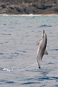 Hawaiian spinner dolphin or Gray's spinner dolphin or long-snouted spinner dolphin, Stenella longirostris longirostris, leaping from water, Kailua-Kona, Big Island, Hawaii ( Central Pacific Ocean )