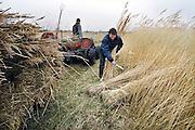 Nederland, Belt-Schutsloot, 24-3-2008Rietsnijder in het riettelersgebied De Wieden bij Giethoorn. Het riet gaat naar de rietdekker. Riettelers vrezen het einde van hun beroepsgroep als ze alleen nog in de zomer mogen snijden. Het riet is dan van slechte kwaliteit. De regering wil het rietsnijden in het vroege voorjaar verbieden om de natuur niet te verstoren. Ook concurentie uit het buitenland maakt het in deze beroepsgroep moeilijk te werken.Foto: Flip Franssen/Hollandse Hoogte