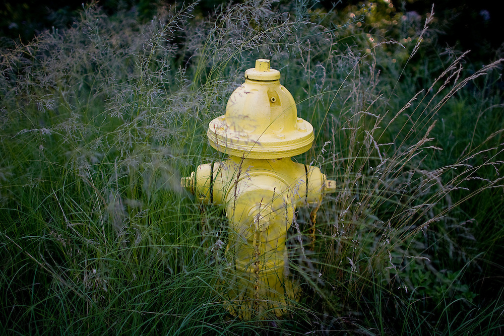 Tall green whispery grass surrounds a yellow fire hydrant along side a roadway at Sandy Hook National Park.