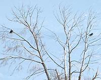 Bald Eagle (Haliaeetus leucocephalus). Arapaho National Wildlife Refuge. Image taken with a Nikon D2xs camera and 80-400 mm VR lens.