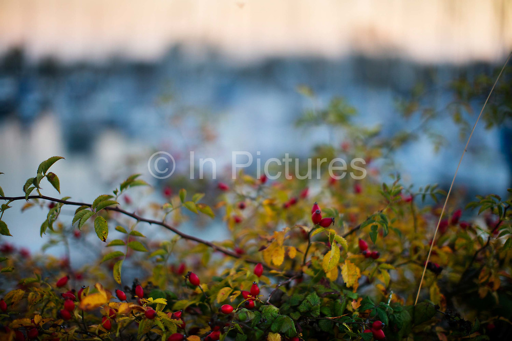 Wild rosehips growing in the hedgerow in Tollesbury, a village in England, located on the Essex coast at the mouth of the River Blackwater, Essex, United Kingdom.