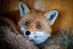 Red fox, vulpes vulpes, at a wildlife rescue centre, Staffordshire, England, UK<br /> Photo: Ed Maynard<br /> 07976 239803<br /> www.edmaynard.com