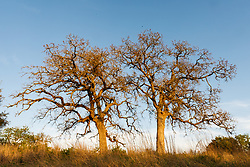Trees in Hill Country between Blanco and Fredericksburg, Texas, USA