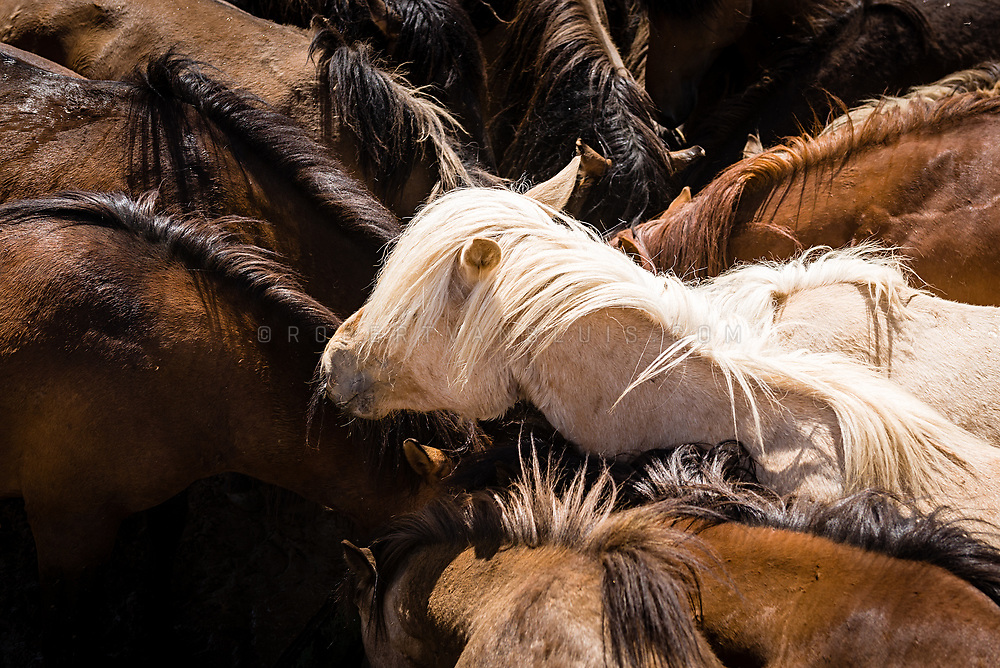 A white horse stands out from a group of dark horses at a watering hole on the steppes of Mongolia. Photo © Robert van Sluis - www.robertvansluis.com