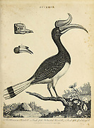 Buceros - The Rhinoceros Hornbill and Helmeted Hornbill Copperplate engraving From the Encyclopaedia Londinensis or, Universal dictionary of arts, sciences, and literature; Volume III;  Edited by Wilkes, John. Published in London in 1810