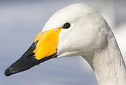 Whooper swan, Cygnus cygnus, portrait, lake Kussharo-ko, Hokkaido Island, Japan, japanese, Asian, wilderness, wild, untamed, ornithology, snow, graceful, majestic, aquatic.