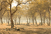 Forest damaged by elephants, Luangwa River Valley, Zambia, Africa