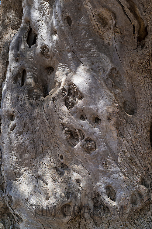 Gnarled trunk of ancient olive tree - Olivo del Tempio di Giunone in Agrigento, Sicily, Italy