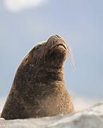 South American Sea Lion (Otaria flavescens) on a rocky island in the Beagle Channel. Ushuaia, Argentina. 13Feb16