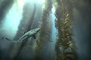 Blue Shark in Kelp Forest Catalina California USA<br /> Photography by Zac Macaulay<br /> Tel 0044 07947 884 517<br /> www.linkphotographers.com