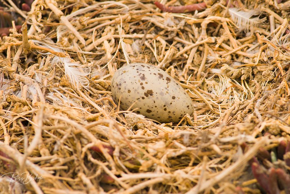 Western gull eggs (Larus occidentalis), Anacapa Island, Channel Islands National Park, California