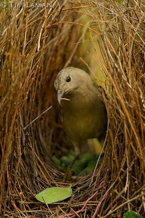 Great Bowerbird (Chlamydera nuchalis) male in his bower..James Cook University Campus, Townsville, Queensland, Australia...JCU Campus Bower #2