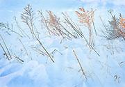 Windblown Pasture Grasses in Snow