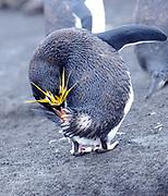 A macaroni penguin (Eudyptes chrysolophus) preening. Saunders Island, South Sandwich Islands. South Atlantic Ocean. 25Feb16