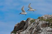 White-fronted Tern, Kaikoura, New Zealand