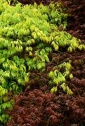 Acer palmatum var. dissectum - A. dissectum viride group and A. dissectum Atropurpureum group - in spring<br /> Japanese maple