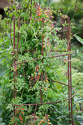 Eccremocarpus scaber (Chilean glory flower, glory vine) growing up metal plant support