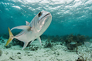 Horse-eye Jack (Caranx latus)<br /> Shark Ray Alley<br /> Hol Chan Marine Reserve<br /> Belize Barrier Reef<br /> near Ambergris Caye and Caye Caulker<br /> Belize<br /> Central America