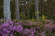 Blooming common heather (Calluna vulgaris) in coastal pine forests on sunny day, Kurzeme Seacoast, Latvia Ⓒ Davis Ulands   davisulands.com