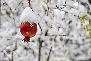 Pomegranate fruit on a tree is covered by snow in a garden