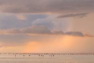 Lesser flamingos (Phoeniconaias minor) in a thunderstorm over the Sowa pan, Botswana