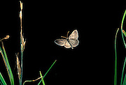 A spanworm moth (Family: geometridae, possibly Hesperumia latipennis) flying at night near Trout Lake in the Gifford Pinchot National Forest, Washington.
