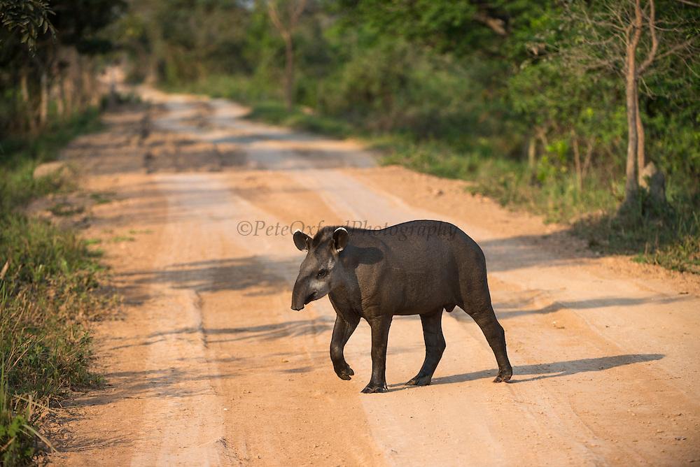 Brazilian Tapir (Tapirus terrestris)<br /> Northern Pantanal<br /> Mato Grosso<br /> Brazil