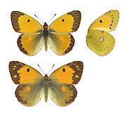 Clouded Yellow - Colias croceus. Male (top) - female (bottom). Wingspan 50mm. A fast-flying migrant visitor to Britain, from mainland Europe. Adult has dark-bordered upperwings that are rich orange-yellow in male, pale yellow in female. Both sexes have yellow underwings with a few dark markings. Larva is green with pale yellow lateral line; feeds on Lucerne and other members of the pea family. A summer visitor to Britain, seen mainly in coastal areas; generally scarce but common in some years.